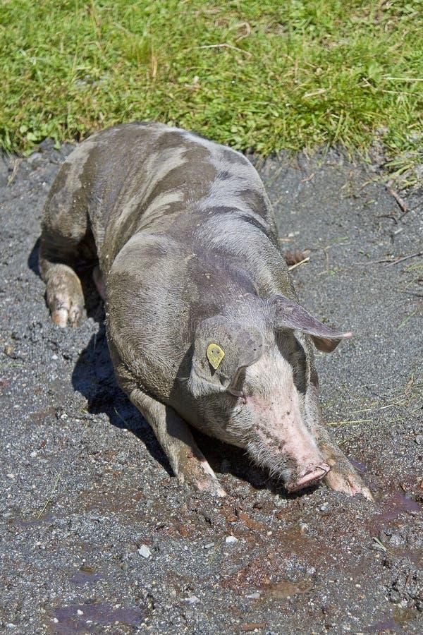 Jaki szczęsliwa świnia obrazy stock