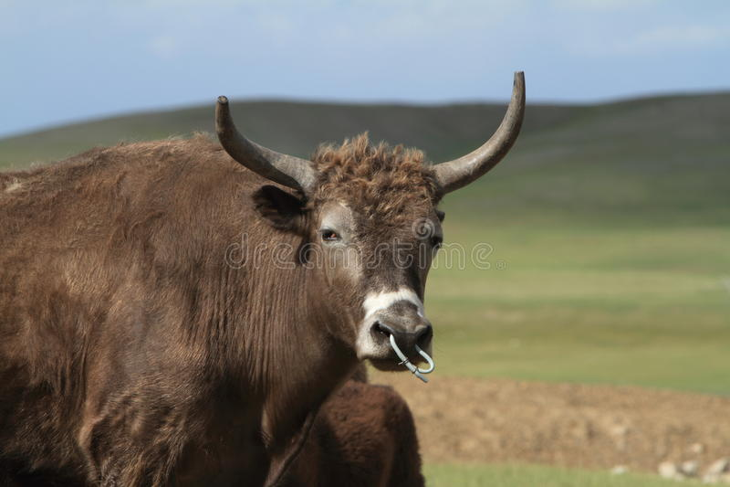 Jakken in de Mongoolse steppe stock afbeelding