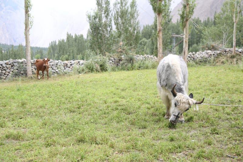 Jakken en koe in de weilanden royalty-vrije stock afbeelding