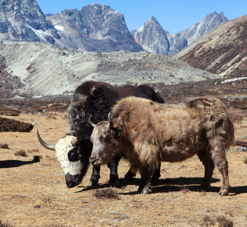 Jakken, groep van twee yaks, de bergen van Himalayagebergte royalty-vrije stock foto's