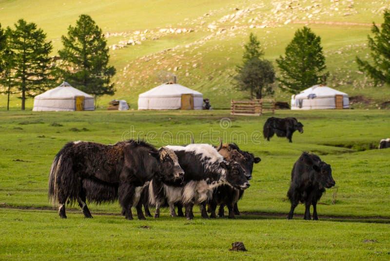 Jakken in Mongolië stock foto's