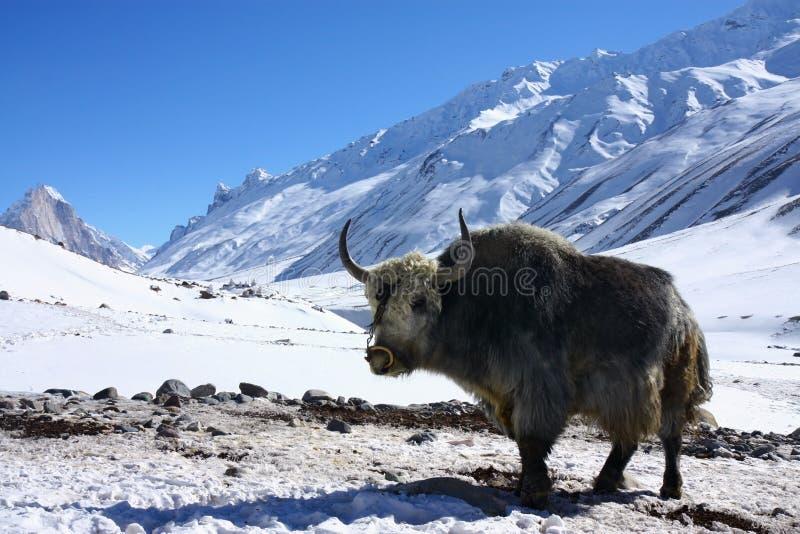 Jakken in sneeuwHimalayagebergte royalty-vrije stock afbeelding