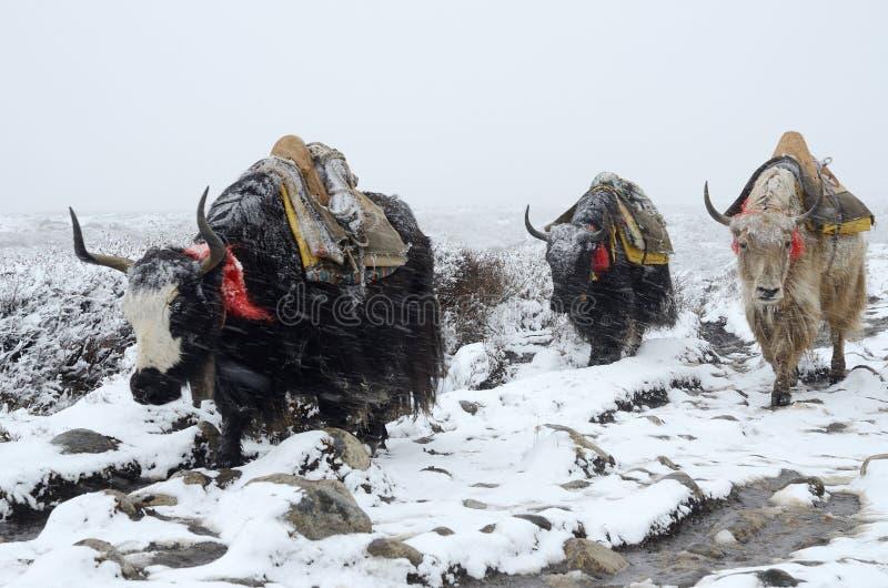 Jakkencaravan die van Everest-Basiskamp gaan in sneeuwstorm, Nepal royalty-vrije stock fotografie