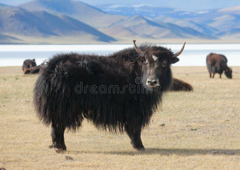 Jakkenweilanden van Mongolië stock foto's