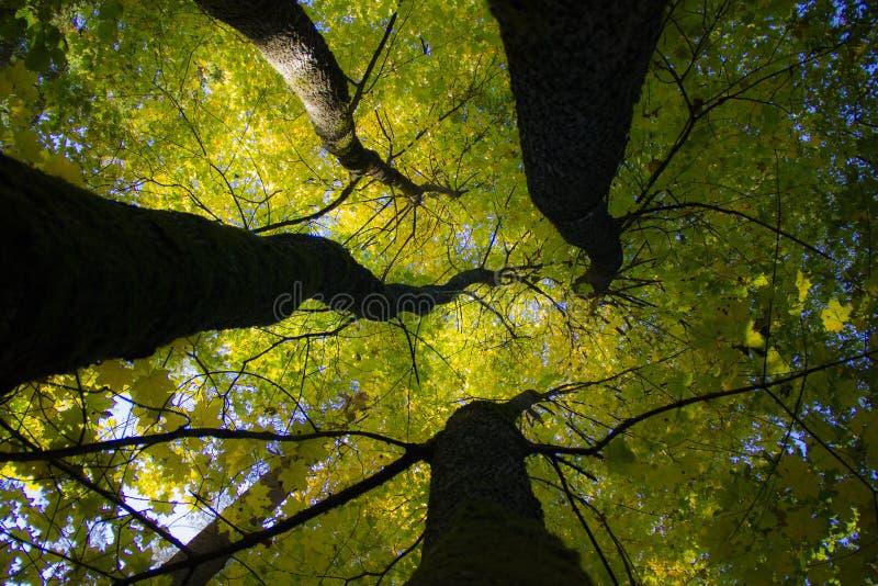 jako cztery drzewa jeden obrazy stock