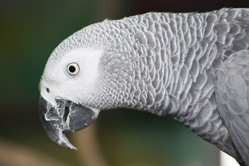 Jako Parrot