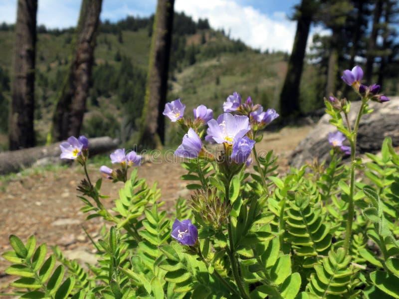 Jakobsleiter-Blumen auf Gebirgsrücken lizenzfreie stockfotografie