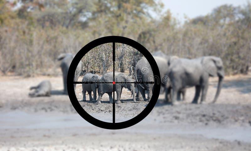 Jakt: Den afrikanska elefanten i den ?r den naturliga livsmilj?n royaltyfri foto