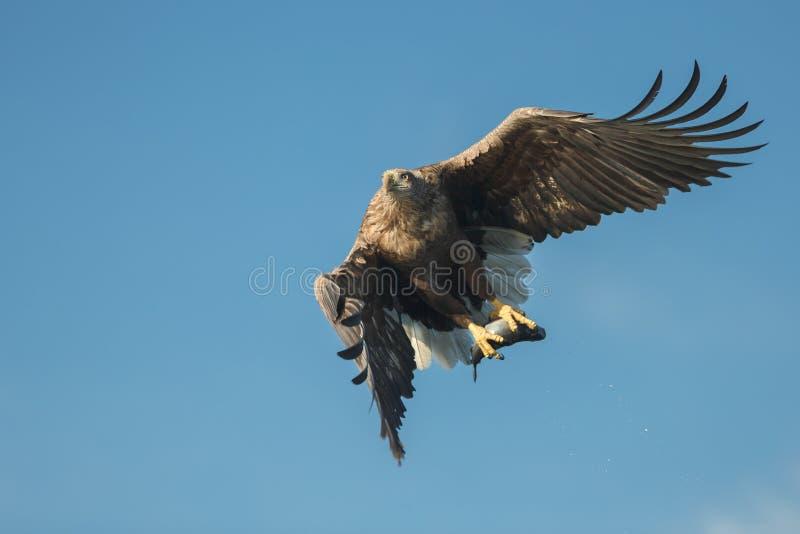 Jakt Eagle med rovet arkivbild