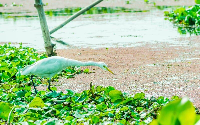 Jakt för en härlig vit svan- eller Cygnusfågel för mat på sjöfältet med att sväva den vatten- växten i Kumarakom fågelfristad, royaltyfri bild