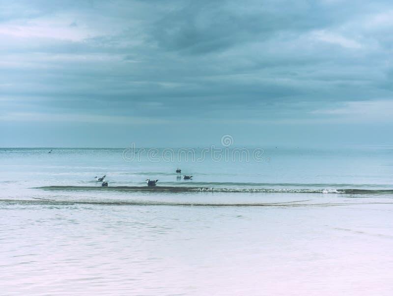 Jakt för havsfågel på stranden Frånlands- med fågeln, strandhav arkivfoto