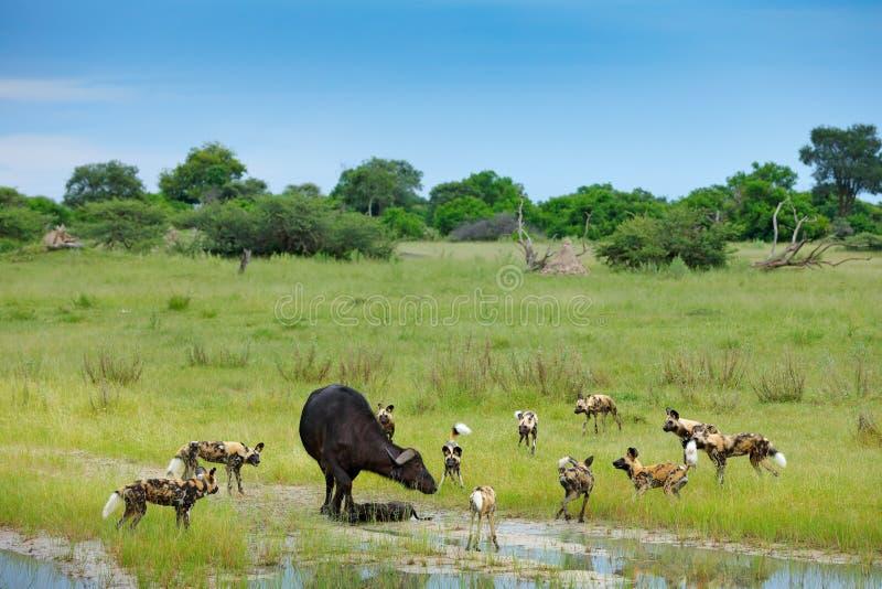 Jakt för lös hund i Botswana, buffelko och kalv med rovdjuret Djurlivplats från Afrika, Moremi, Okavango delta Djur behav fotografering för bildbyråer