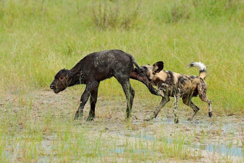 Jakt för lös hund i Botswana, buffelko och kalv med rovdjuret Djurlivplats från Afrika, Moremi, Okavango delta Djur behav arkivbild