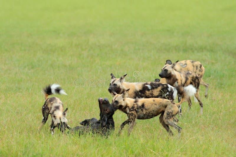 Jakt för lös hund i Botswana, buffelko och kalv med rovdjuret Djurlivplats från Afrika, Moremi, Okavango delta Djur behav arkivfoton