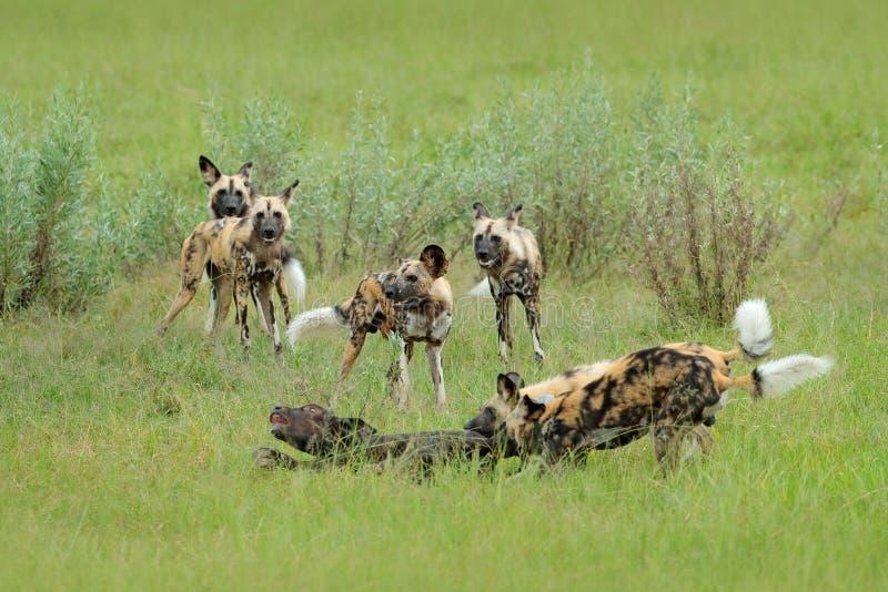 Jakt för lös hund i Botswana, buffelkokalv med rovdjuret Djurlivplats från Afrika, Moremi, Okavango delta Djurt uppförande arkivfoto