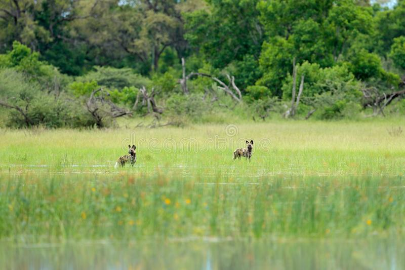 Jakt för lös hund i Botswana, sjö med den gula blomman Djurlivplats från Afrika, Moremi, Okavango delta Djurt uppförande, packe arkivbilder
