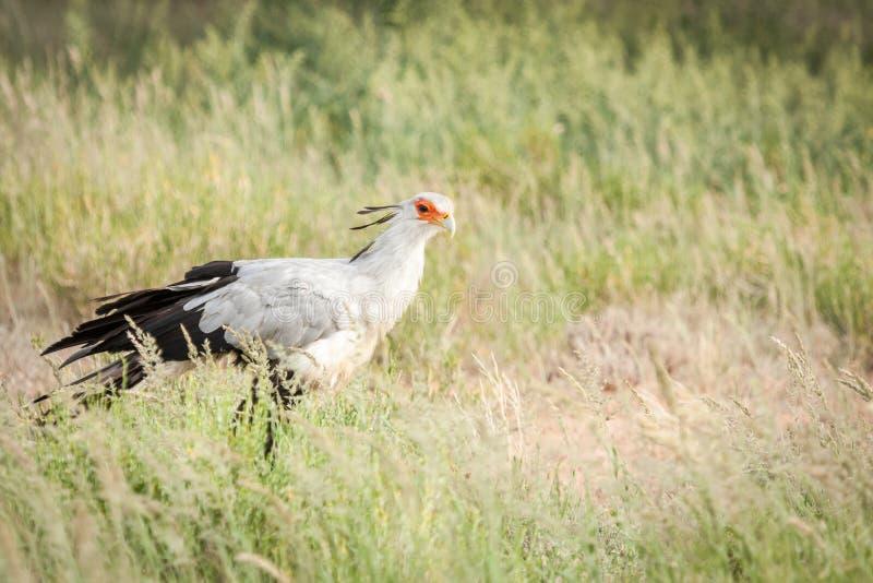 Jakt för sekreterarefågel fotografering för bildbyråer