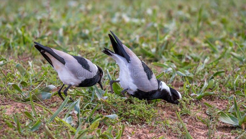 Jakt för två fåglar för rov tillsammans royaltyfri bild