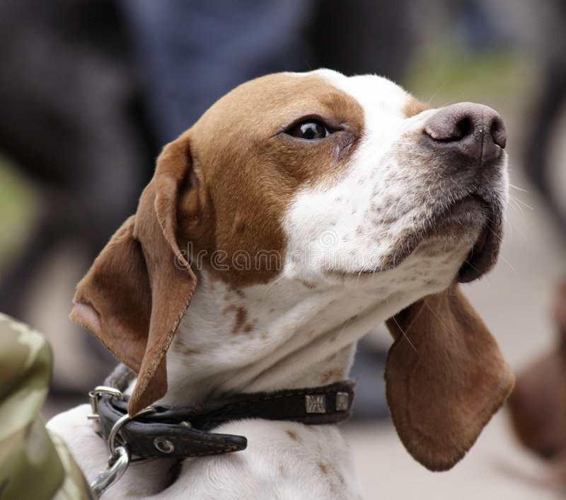 jakt för utställning dogs3 arkivbild