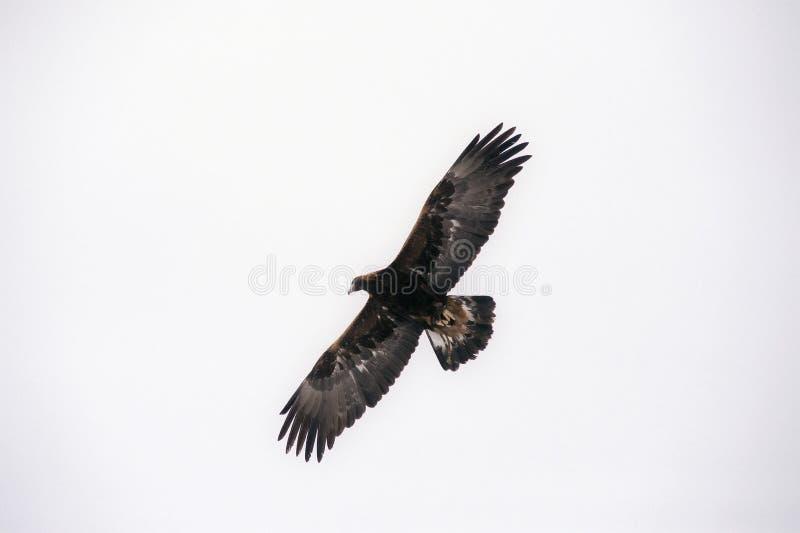 Jakt på fågel som letar efter byte, sår i luften royaltyfria foton