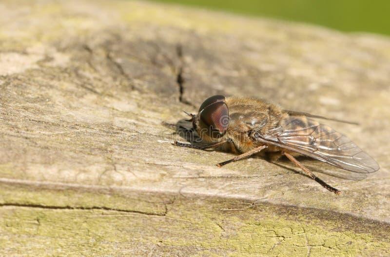 Jakt Smal-påskyndade en bromsTabanus maculicornis som sätta sig på ett trästaket i skogsmark royaltyfri bild