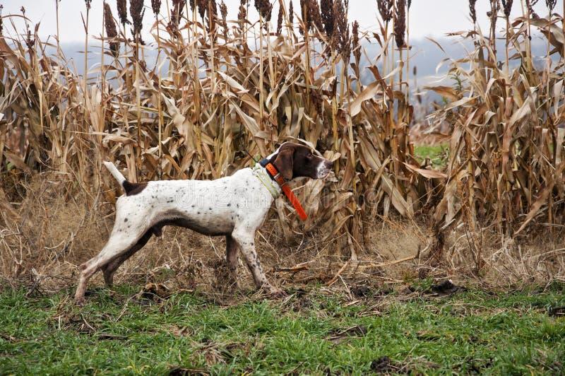 Jaktfågelhund på punkt royaltyfri bild