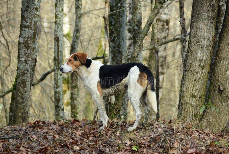 Jakthund i skog arkivbild