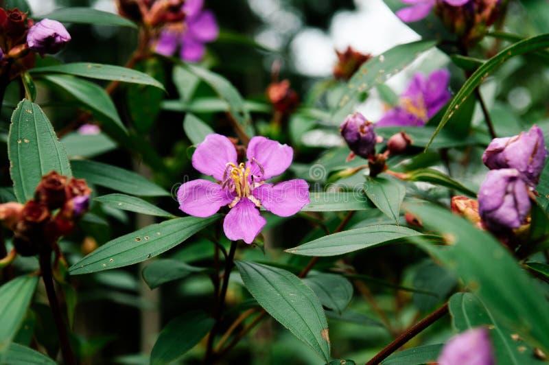 Jamón u osbeckia púrpura, rododendro indio tr del stellata de Osbeckia foto de archivo libre de regalías
