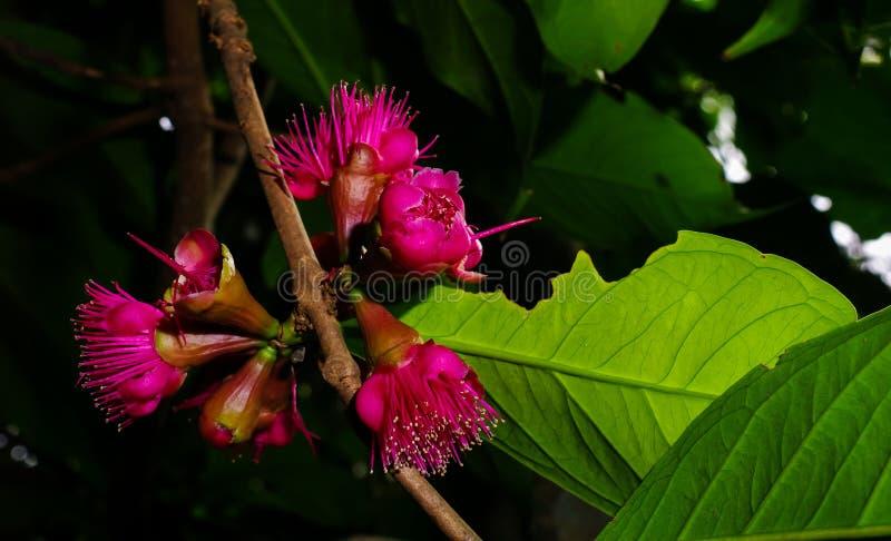 Jamaican apple flower. Flower of Jamaican apple, Syzygium malaccense royalty free stock photo