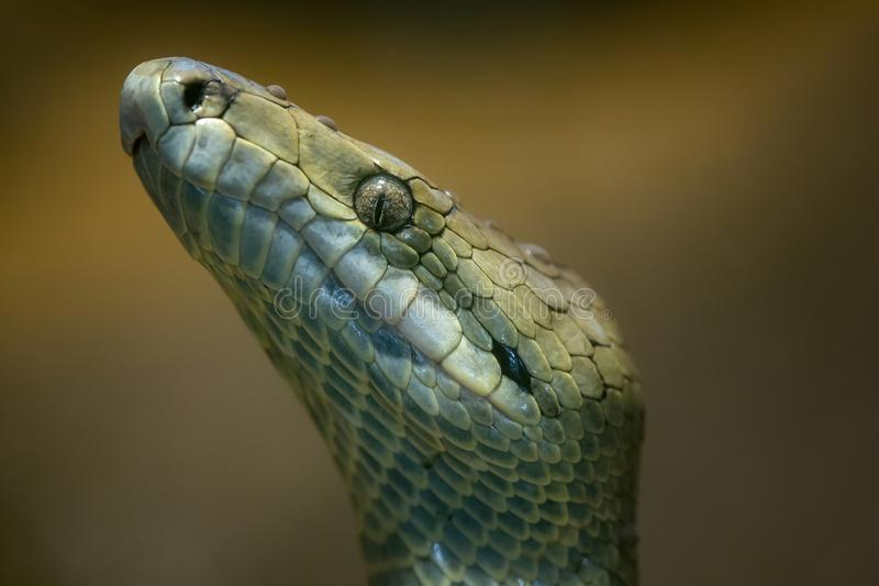 Jamaican boa, Epicrates subflavus royalty free stock photo
