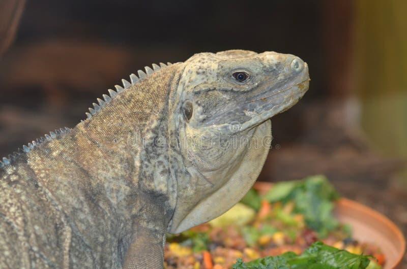 jamaican iguana2 royaltyfri bild