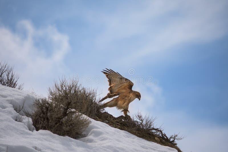 Jamaicensis ou Chickenhawk atado vermelho de Hawk Buteo imagens de stock royalty free