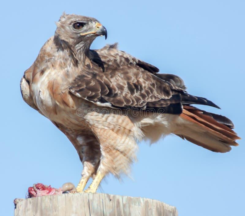 jamaicensis Rouge-coupé la queue de Hawk Buteo mangeant le rongeur images libres de droits