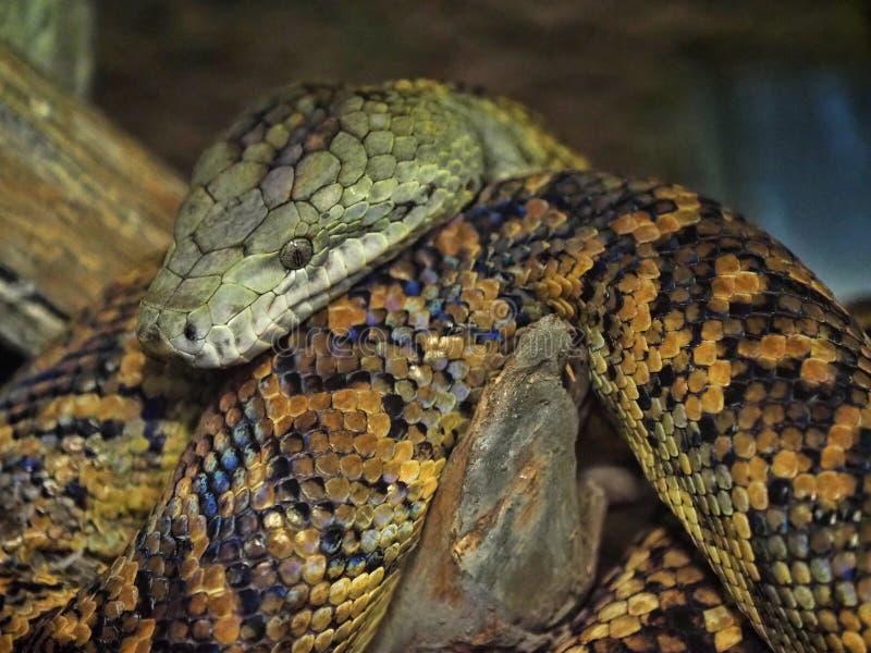 Jamaikanische Boa, Epicrates-subflavus, wird mit Löschung gedroht lizenzfreie stockfotografie