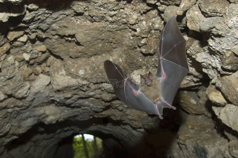 Jamaikanisches Frucht-Hiebflugwesen in der Höhle, Tikal Guatemala lizenzfreies stockbild