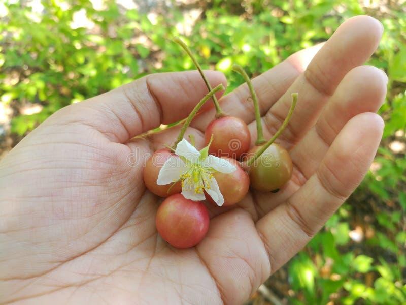 Jamaikansk körsbär och dess blomma royaltyfria foton