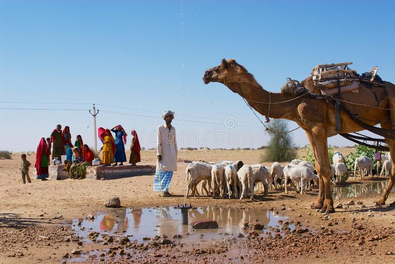 Camel and sheep drink water from a road side pond in the Thar desert in Jamba, India. stock image