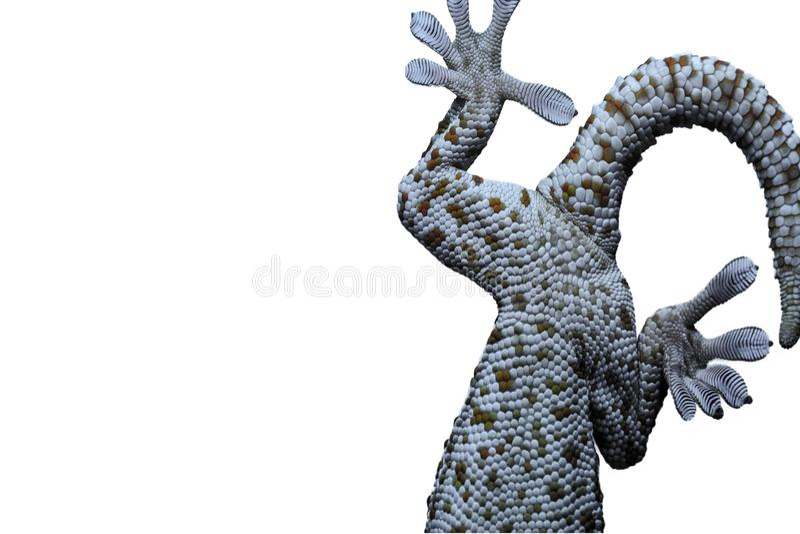 Jambe de gecko, animaux de gecko de doigt photo stock