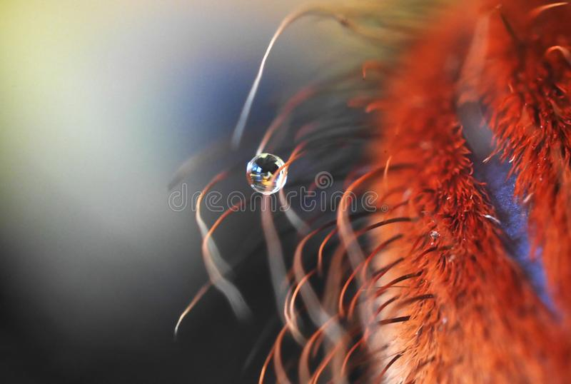 Jambe de tarentule brésilienne orange avec la goutte de l'eau - rapport optique extrême photographie stock libre de droits