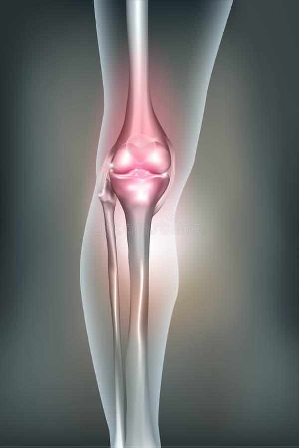 Jambe humaine, anatomie de genou illustration de vecteur