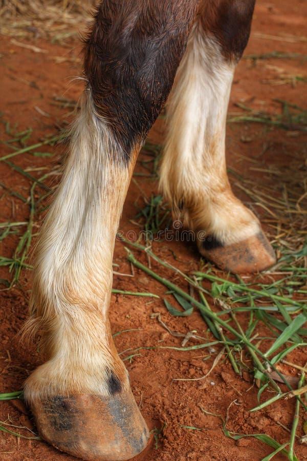 Jambes de cheval de châtaigne image stock