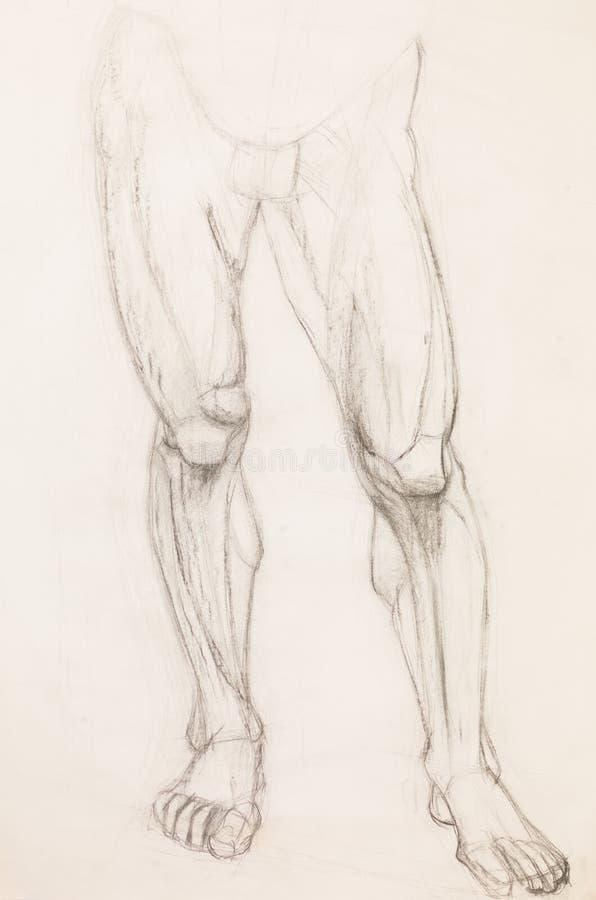 Jambes humaines, étude d'anatomie illustration libre de droits