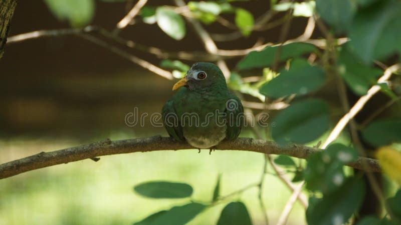 jambu果子鸠是一只有点小五颜六色的果子鸠 这是一个常驻繁殖的种类在泰国南部,马来西亚,文莱 库存图片