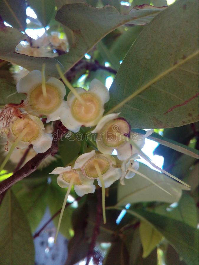 Jambu-Blume stockfoto