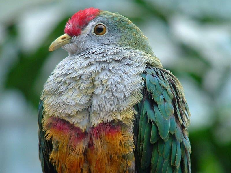 Jambu Frucht-Taube stockbilder