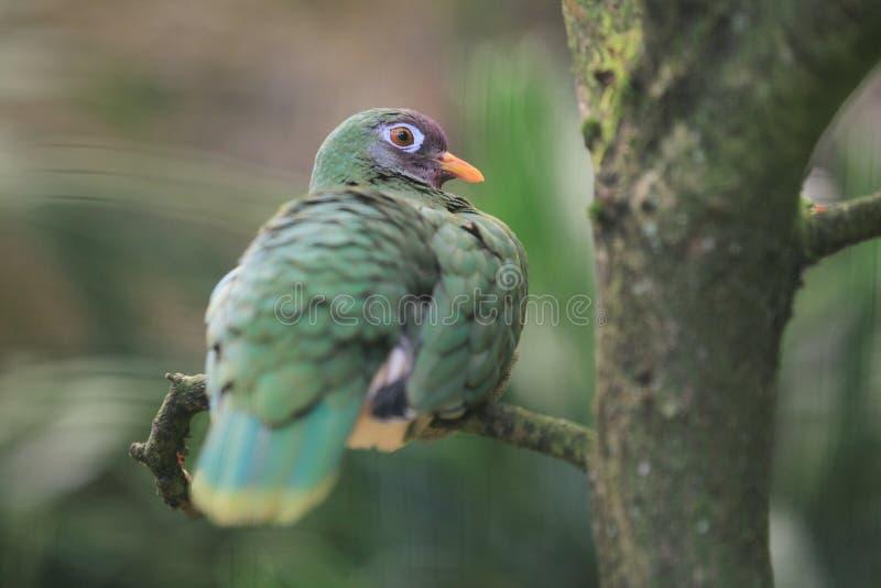 Jambu fruit dove royalty free stock image