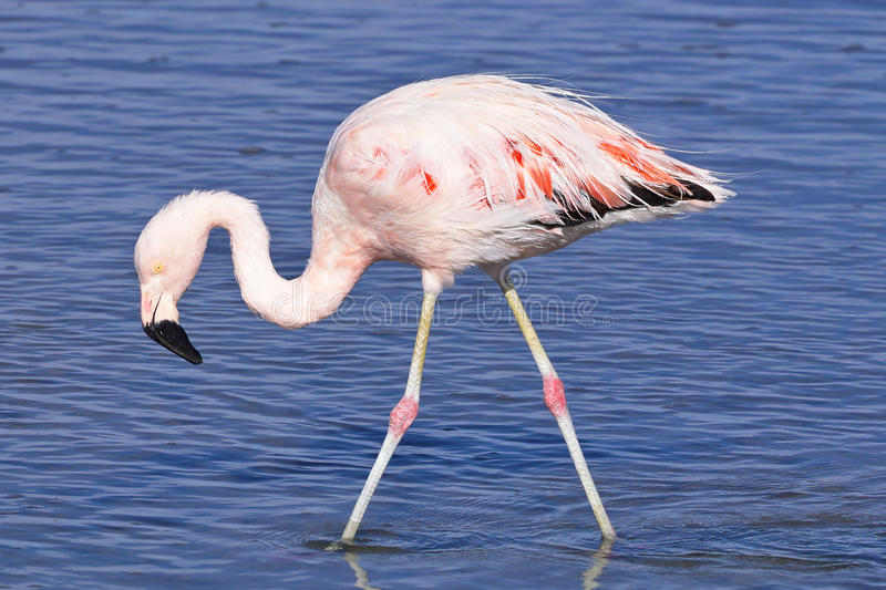 James-` s Flamingo Phoenicoparrus-jamesi stockfoto
