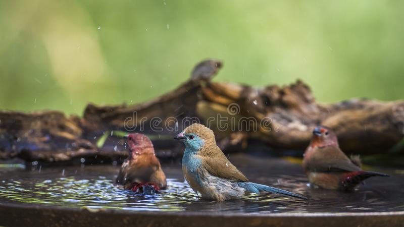 Jameson`s Firefinch and Blue-breasted Cordonbleu in Mapungubwe N stock photography