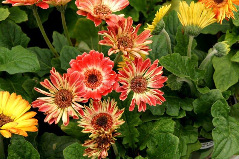 Jamesonii 'linea Midi della gerbera di Flori bicolore' fotografie stock libere da diritti
