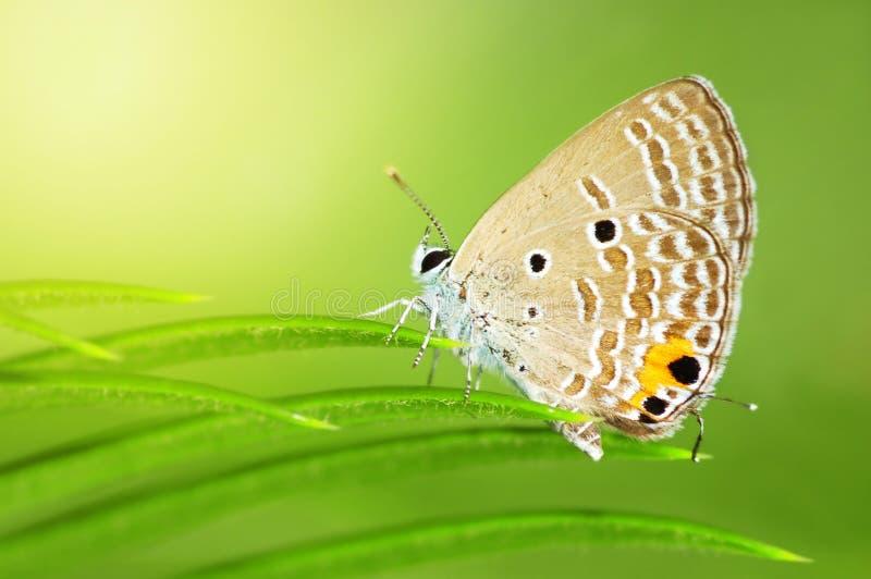 jamides общего celeno бабочки caerulean стоковая фотография